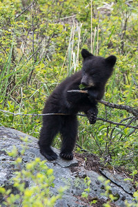 Black Bear Cub II