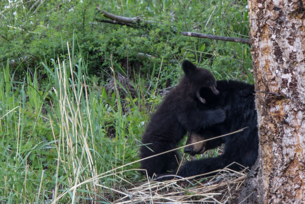 Black Bear Sow and Cub II