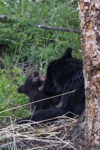 Black Bear Sow and Cub III