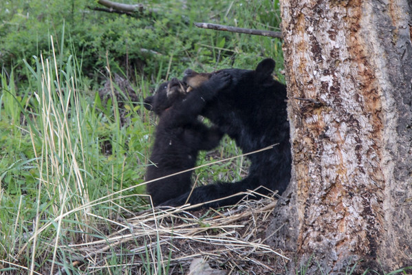 Black Bear Sow and Cub IV