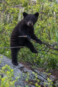 Black Bear Cub V