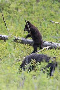 Black Bear Cub VII