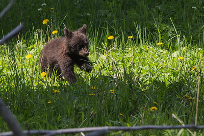 Black Bear Cub IX