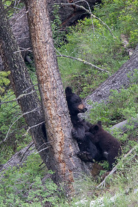Black Bear Sow and Cub VIII