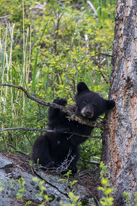 Black Bear Cub IV