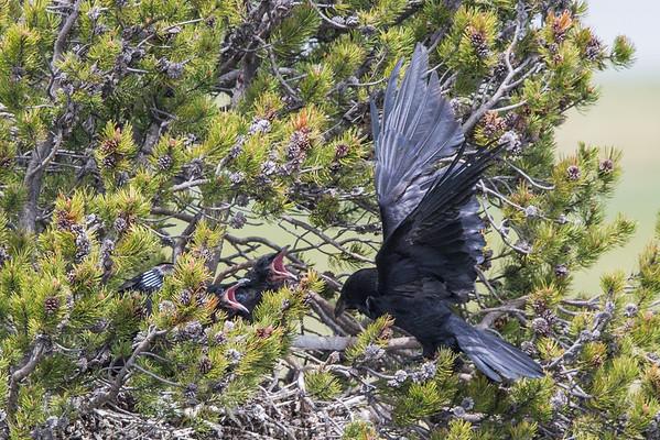 Raven Nest VI