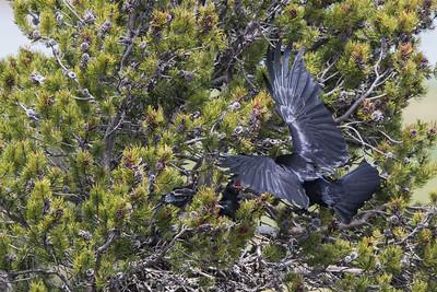 Raven Nest III