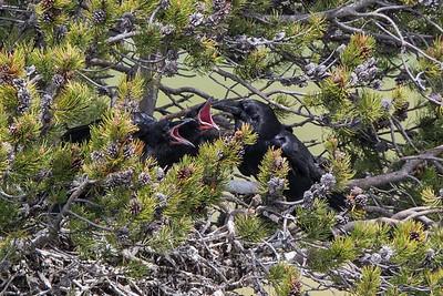 Raven Nest V