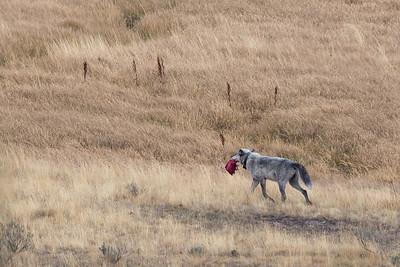 Wapiti Lake Pack Elk Kill