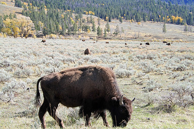 Up close with a Bison