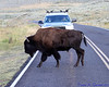 Bison crossing the road in Lamar Valley, Yellowstone National Park.