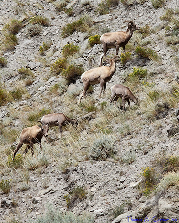 Bighorn sheep, near the North Entrance to Yellowstone National Park.