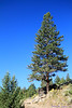 Lodgepole pine in Yellowstone