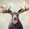 Leaving Cooke City...  The Great Ghost Moose with Golden Antlers !
