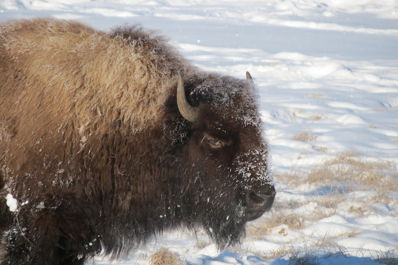 Bison on our Snowmobile Tour