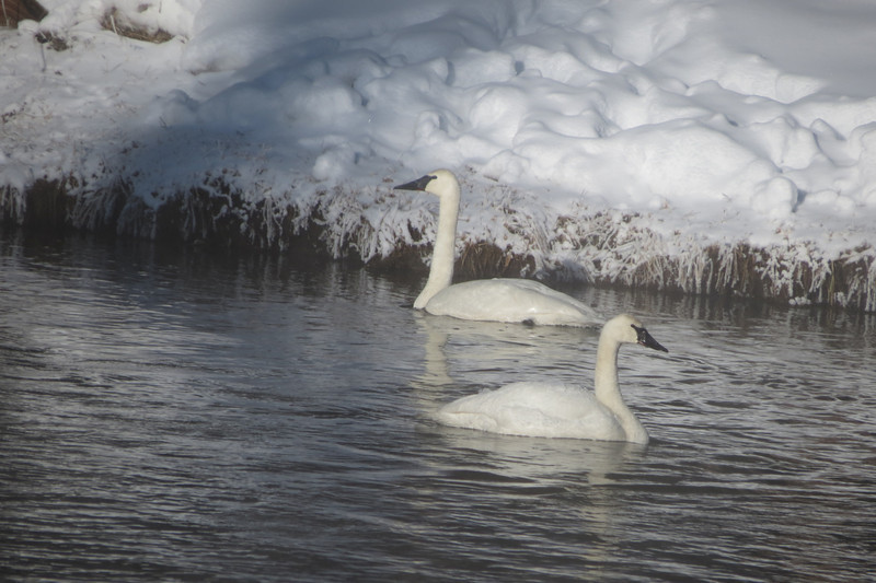 Trumpeter Swans on the Firehole River