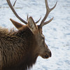 Elk Refuge in Jackson Hole