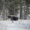 Moose in Yellowstone