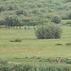 Bear Hunting Elk