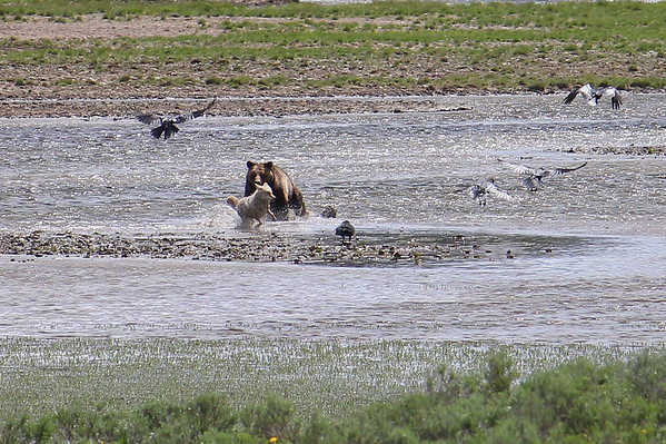 Grizzly charges the coyote.