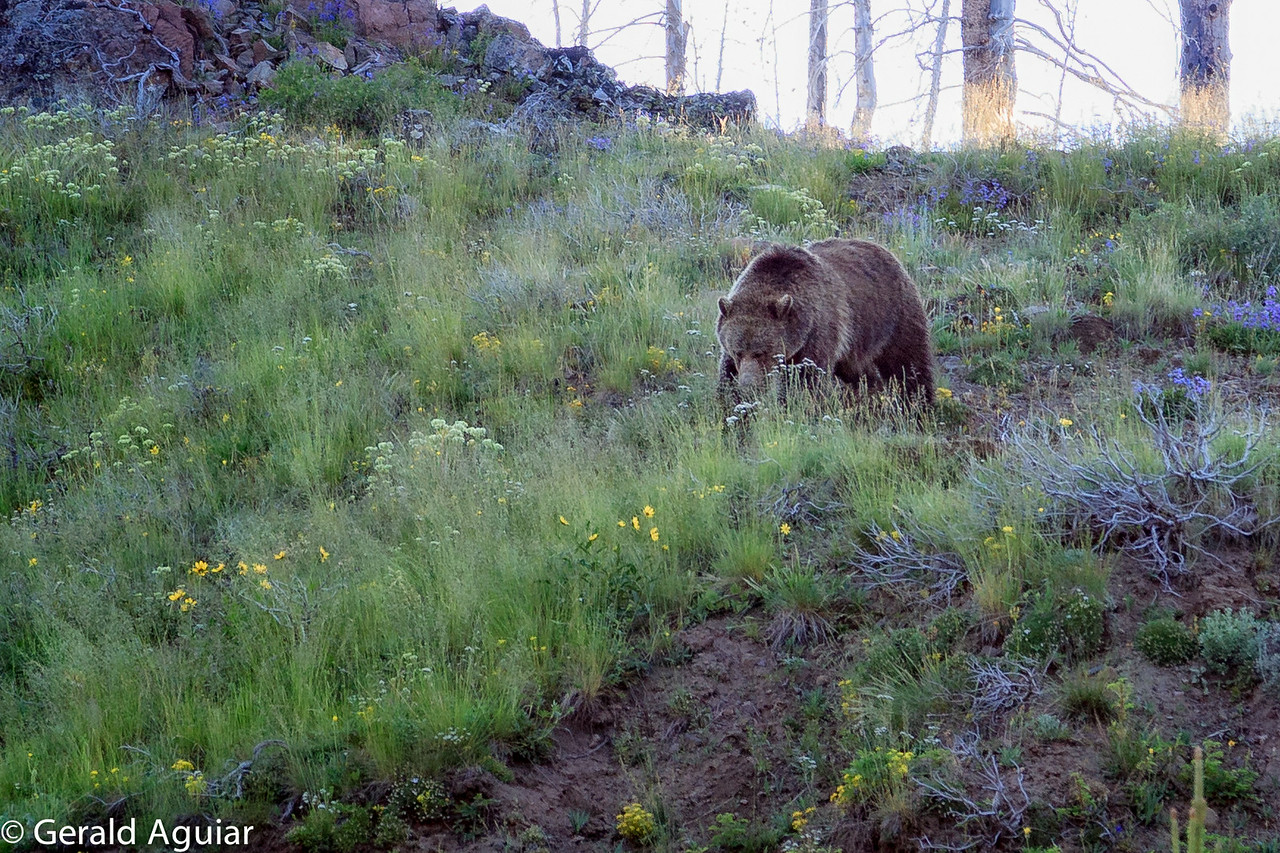 Grizzly Bear Looking for Food