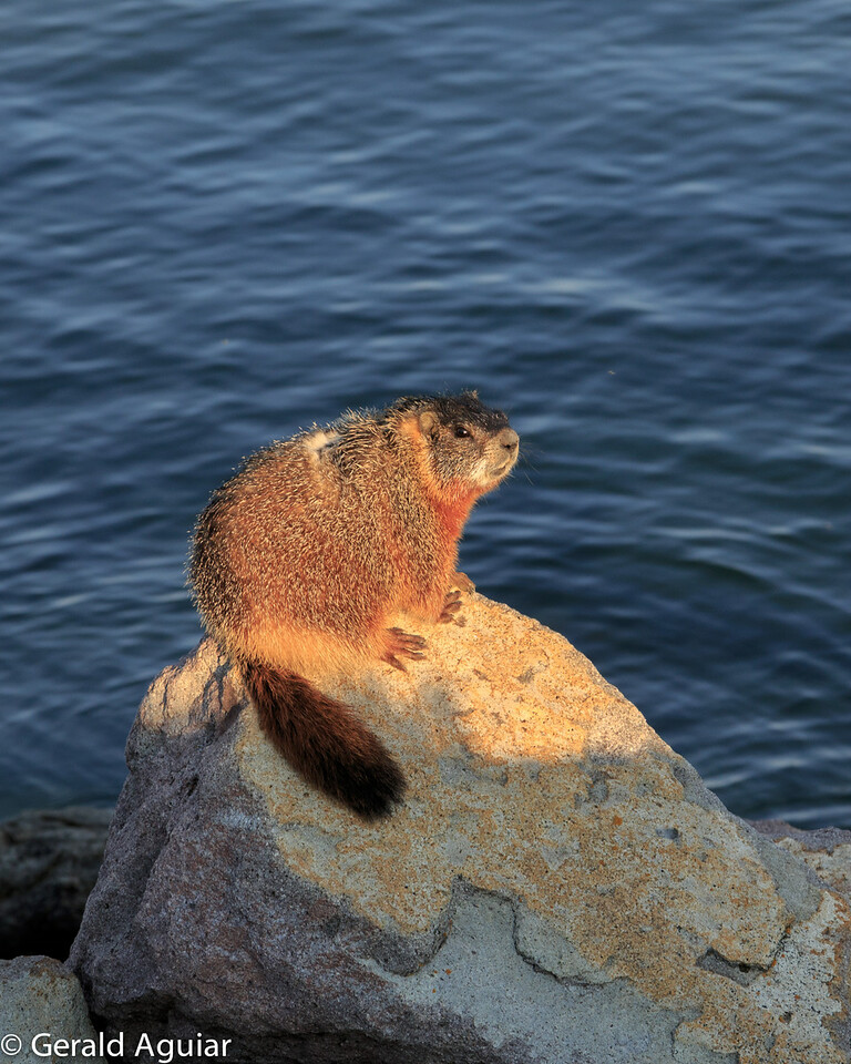 Golden Bellied Marmot