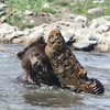 Montana Grizzly Encounter- Bear Sanctuary