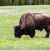 Hungry Bison