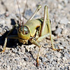 Mormon Cricket (Anabrus simplex). Yellowstone National Park, USA.