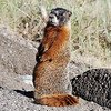Yellow-bellied marmot (Marmota flaviventris). Yellowstone National Park, USA.