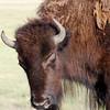 American bison (Bison bison). Lamar Valley, Yellowstone National Park, USA.