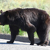 American black bear (Ursus americanus). Yellowstone National Park, USA.