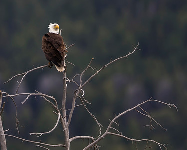Bald Eagle on Lamar River