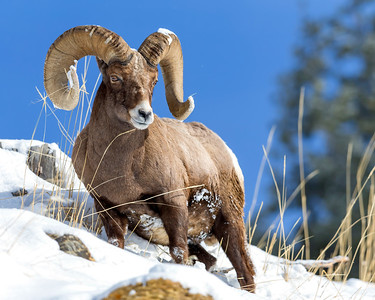 Ram Yellowstone National Park