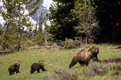 Grizzly Bear and Cubs Grand Teton NP