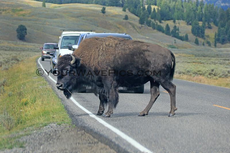 2019-09-07_239_Yellowstone_Lamar Valley_Bison.JPG
