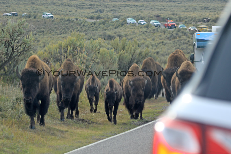 2019-09-10_419_Yellowstone_Lamar Valley_Bison.JPG