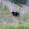 2019-09-07_273_Yellowstone_Roosevelt_Black Bear.JPG