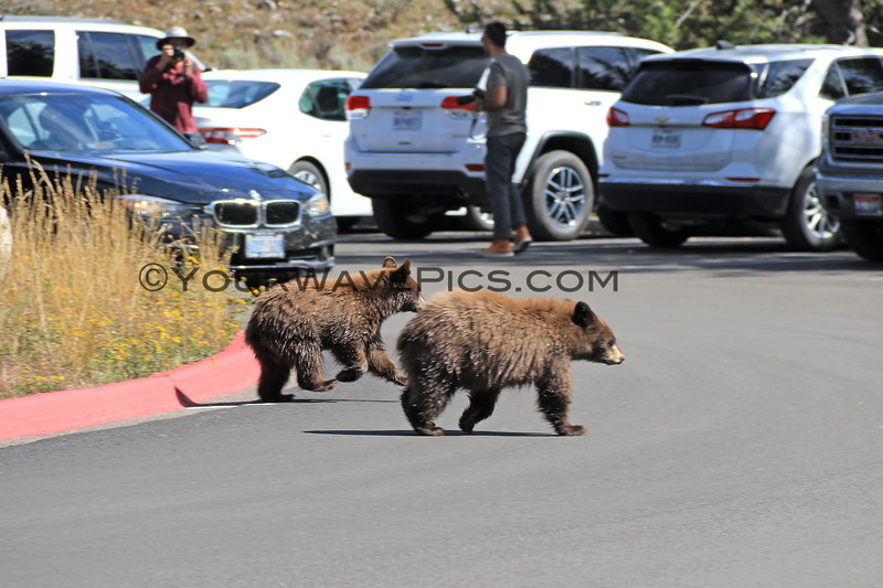 2019-09-14_842_Tetons_Jenny Lake_Brown Bear Cubs.JPG