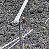 2019-09-05_16_Yellowstone_Bald Eagle.JPG