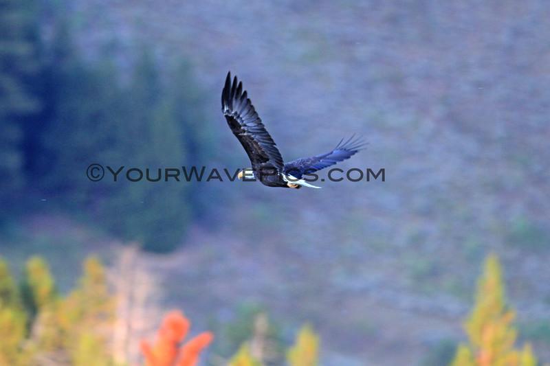 2019-09-12_740_Tetons_Bald Eagle.JPG