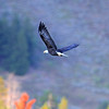 2019-09-12_740_Tetons_Bald Eagle.JPG