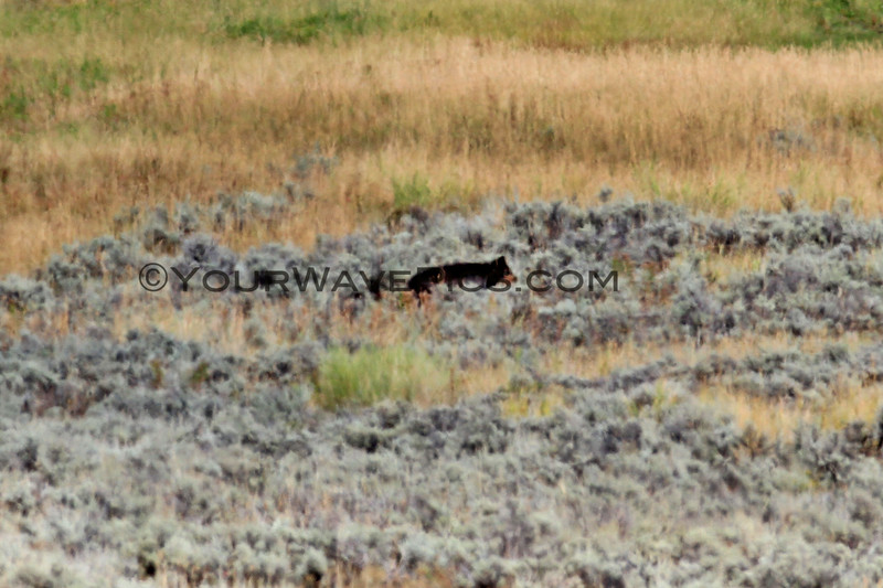 2019-09-10_412_Yellowstone_Lamar Valley_Black Wolf.JPG