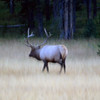 2019-09-07_285_Yellowstone_Bull Elk.JPG