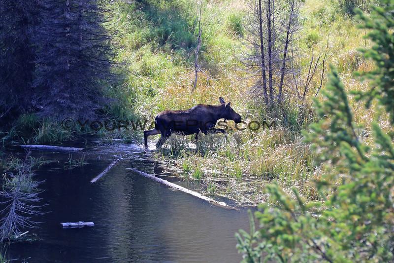 2019-09-14_861_Tetons_Moose Ponds_Moose Cow.JPG