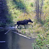 2019-09-14_861_Tetons_Moose Ponds_Moose Cow.JPG