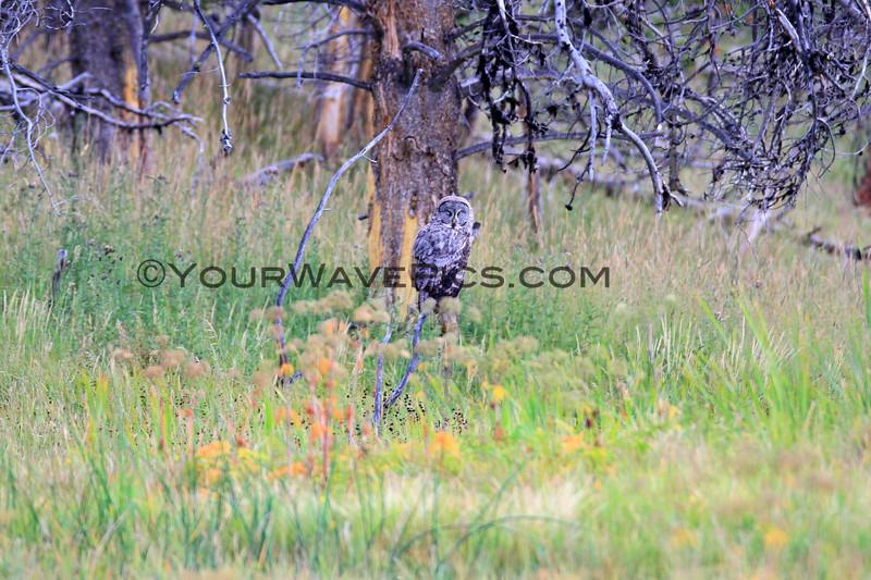 2019-09-05_58_Yellowstone_Great Grey Owl.JPG