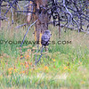 2019-09-05_58_Yellowstone_Great Grey Owl.JPG