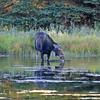 2019-09-15_953_Tetons_Schwabacher Landing_Moose.JPG