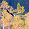 2019-09-12_747_Tetons_Bald Eagle.JPG